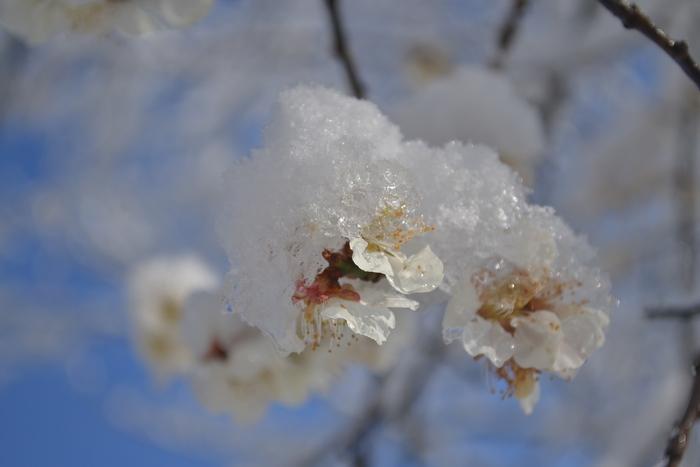 梅の花に雪7
