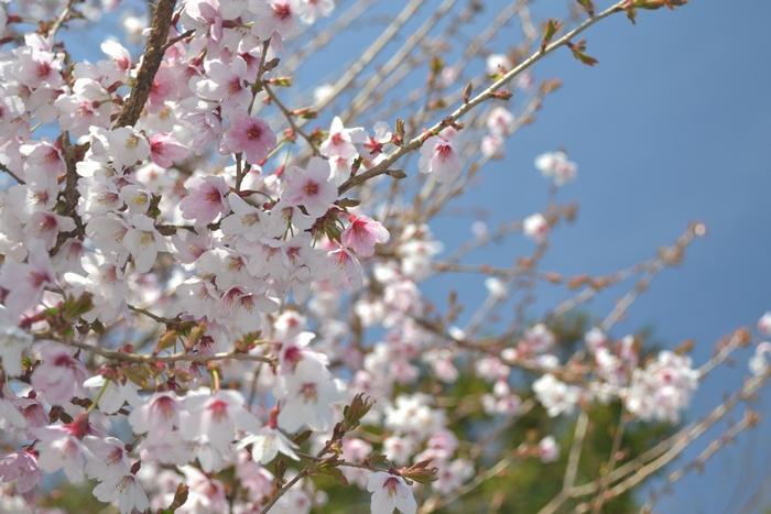 乙女桜12