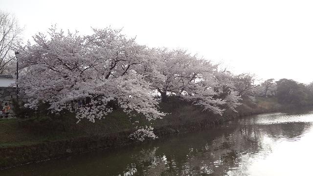 舞鶴公園桜1