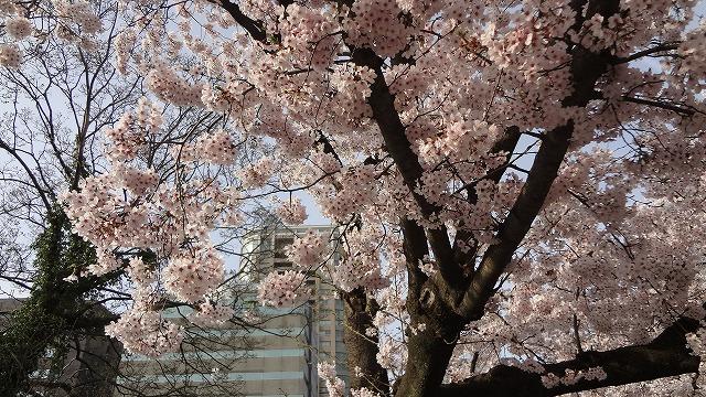 舞鶴公園桜2