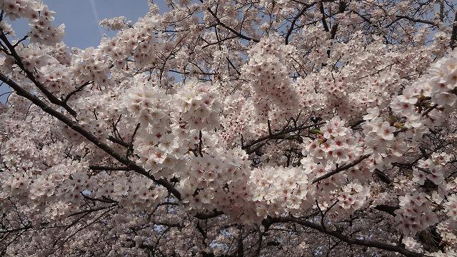 舞鶴公園桜3