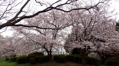 大泉緑地の桜 (2016年)(冒険ランドの裏にある桜)