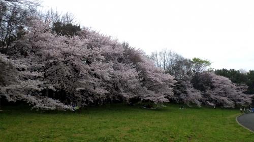 大泉緑地の桜 (2016年)(双ヶ丘の桜:全景)
