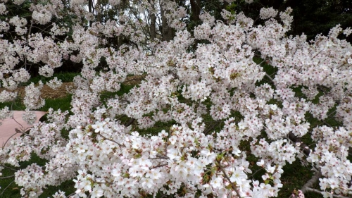 大泉緑地の桜 (2016年)(双ヶ丘の桜:見下ろすように)