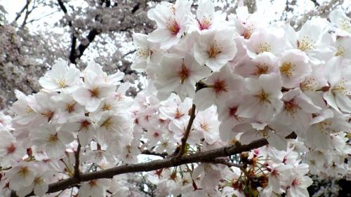 大泉緑地の桜 (2016年)(双ヶ丘の桜:接写)