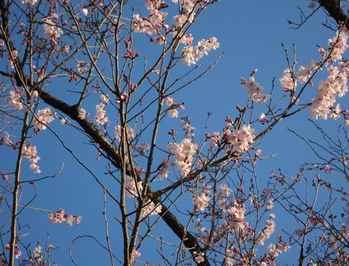 彼岸桜−1