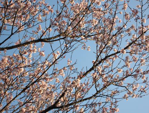 彼岸桜-2