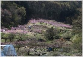 160409E 055B桃の花畑32