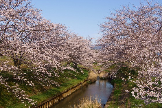 160405千本桜-1