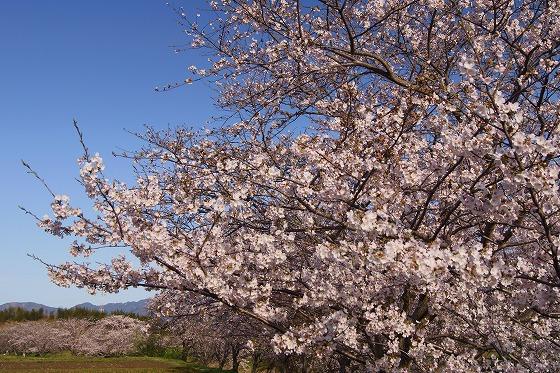 160405千本桜-2