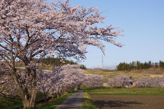 160405千本桜-3
