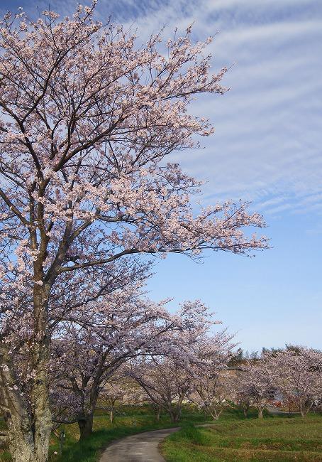 160405千本桜-4