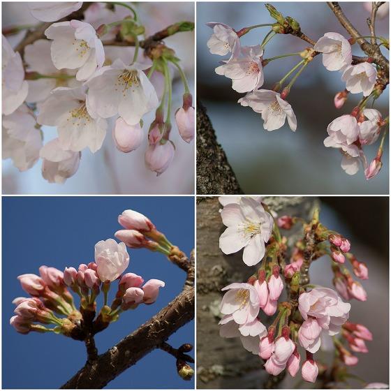 160405千本桜コラージュ-1