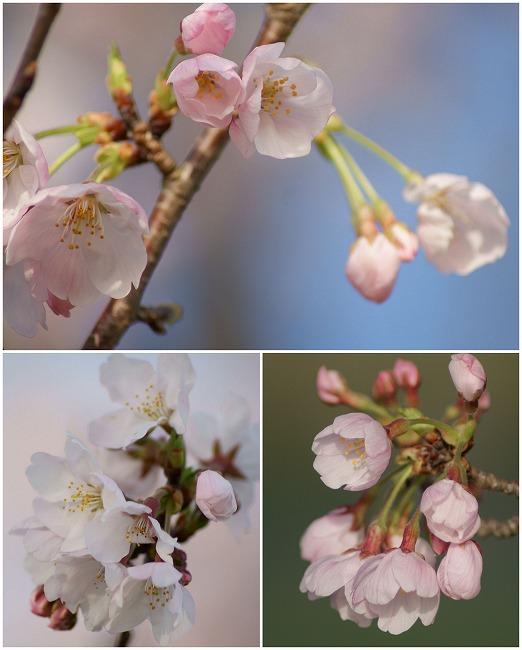 160405千本桜コラージュ-2