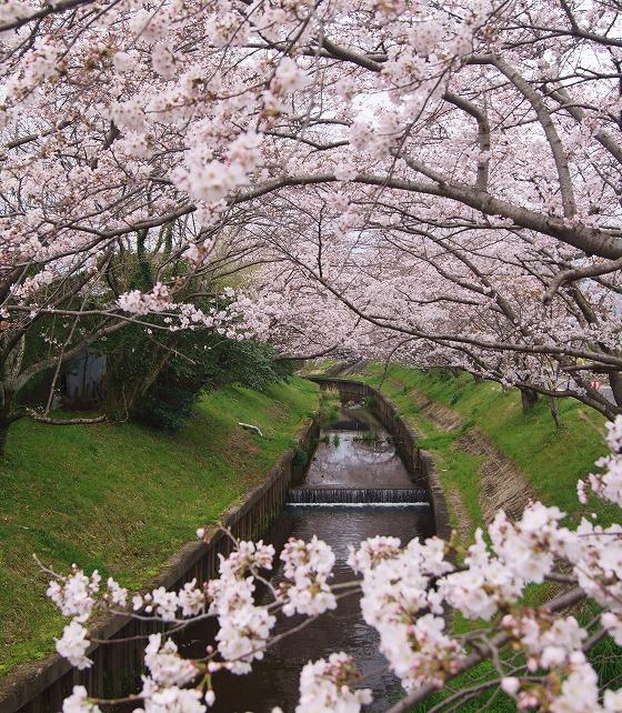 160403千本桜