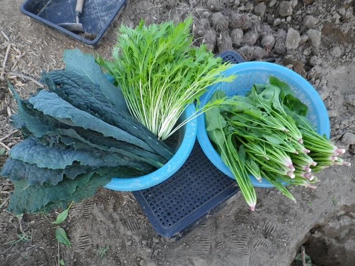 収穫菜っ葉15_10_24