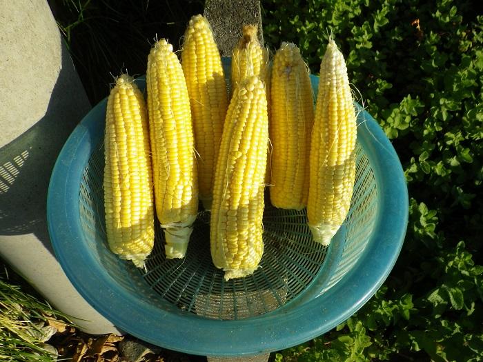 収穫2_15_11_01