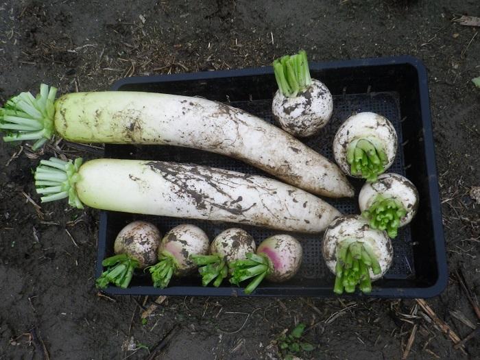 収穫6_15_11_08