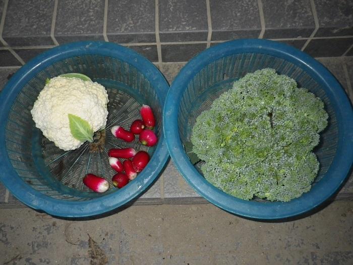 朝の収穫1_15_11_22