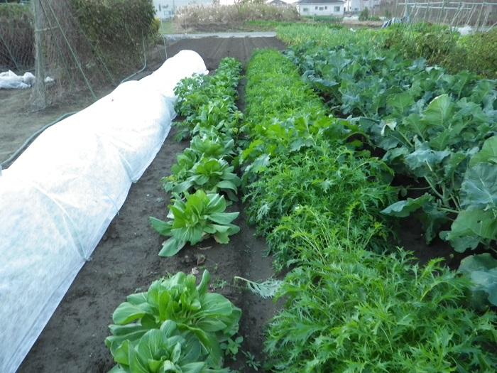 水菜と青梗菜15_12_04