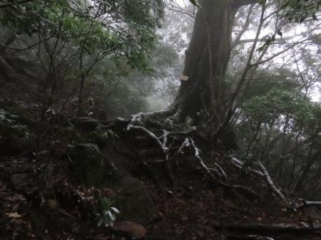 多良岳マンサク 066
