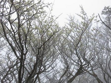 多良岳マンサク 091