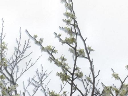 多良岳マンサク 092