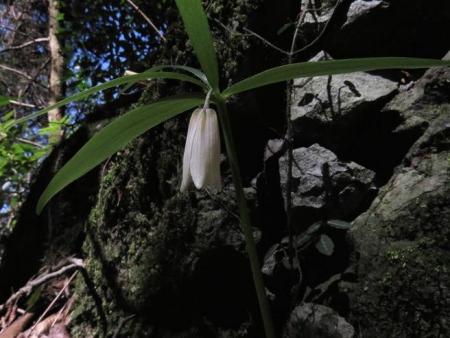 カラ迫岳サバノオ 075