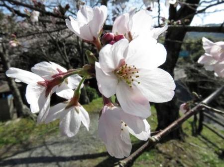 女山竹屋の桜 118