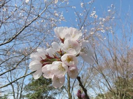 女山竹屋の桜 121