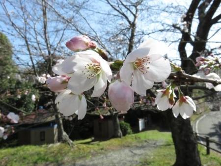 女山竹屋の桜 116