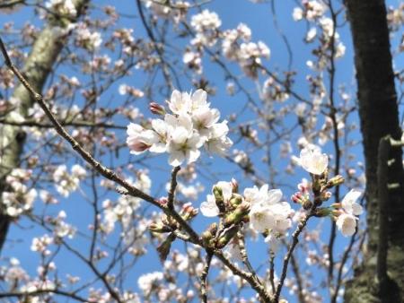 女山竹屋の桜 003