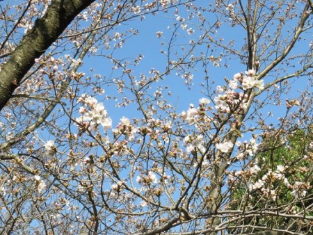 女山竹屋の桜 004