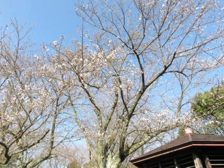 女山竹屋の桜 001