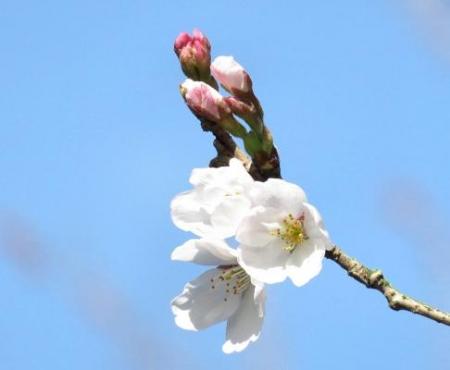 女山竹屋の桜 089