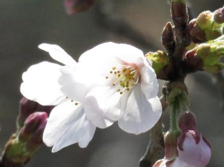 女山竹屋の桜 035