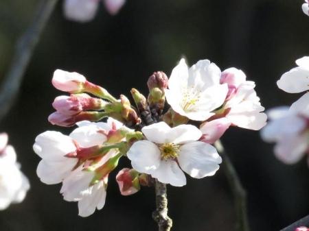 女山竹屋の桜 022
