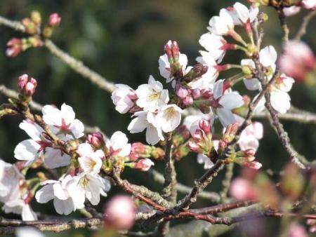 女山竹屋の桜 014