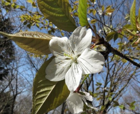 女山竹屋の桜 055