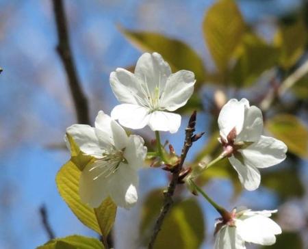 女山竹屋の桜 069