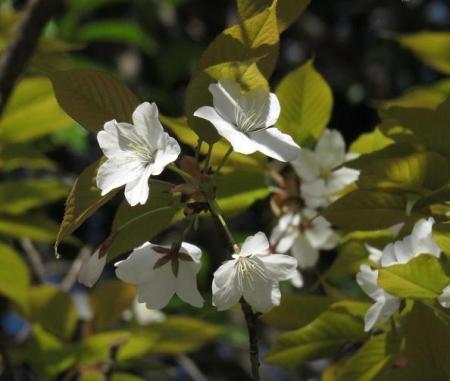 女山竹屋の桜 054