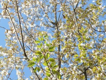 女山竹屋の桜 051
