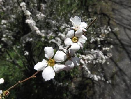 女山竹屋の桜 238