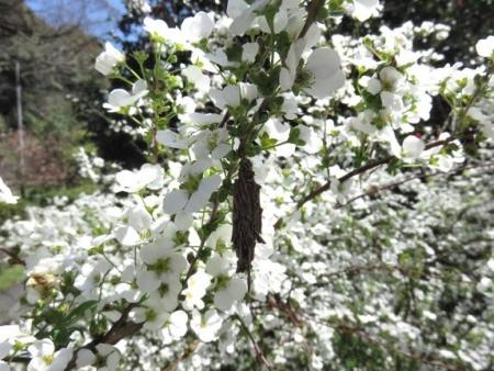 女山竹屋の桜 229
