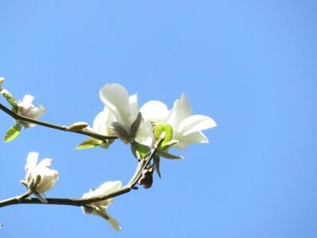 女山竹屋の桜 176