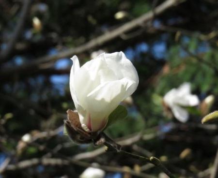 女山竹屋の桜 102