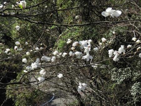 女山竹屋の桜 100