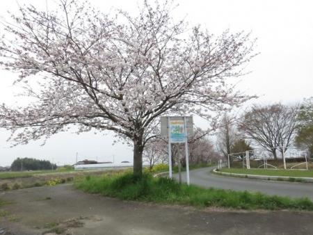 桜花宗川 046