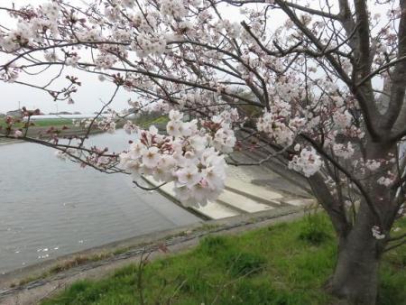 桜花宗川 037