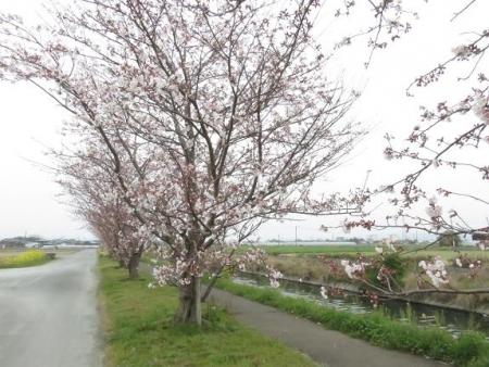 桜花宗川 032